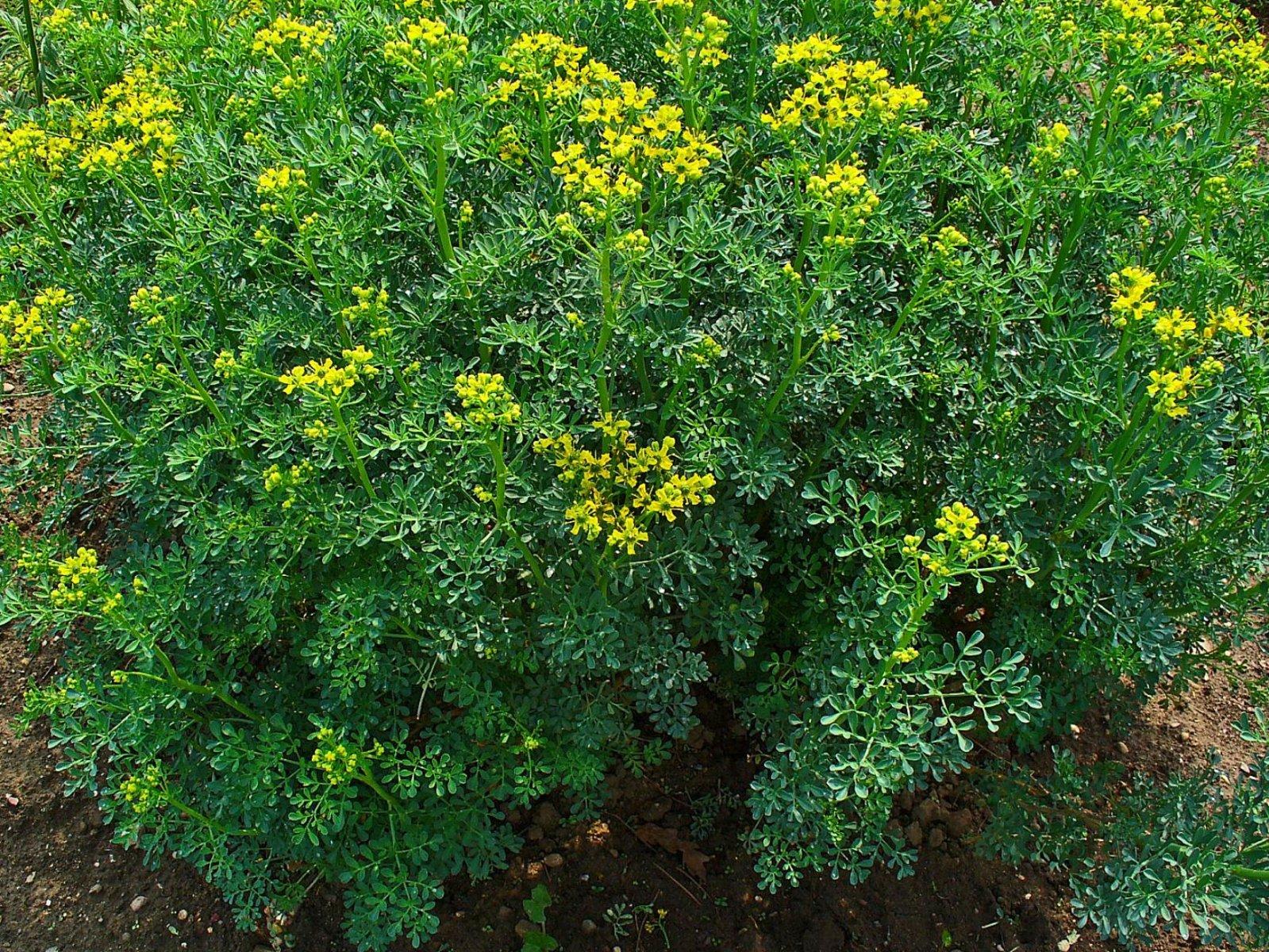 Ruda-planta-.jpg